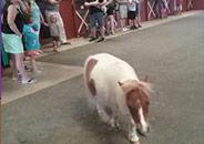 Mini Horse at Land of Little Horses Animal Theme Park