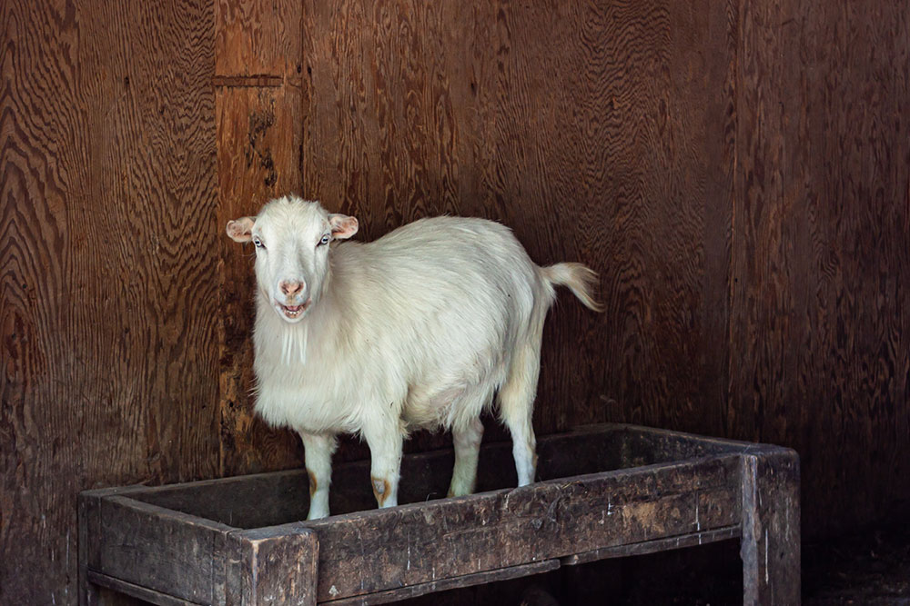 Goat Standing on Table at Land of Little Horses Animal Theme Park