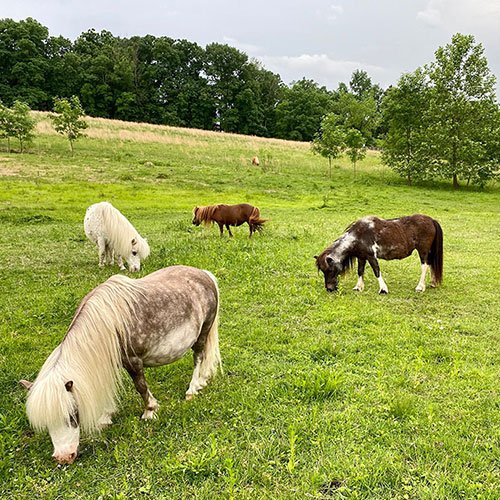 Mini Horses Grazing in Field at Land of Little Horses Animal Theme Park