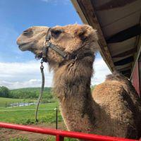Lance the Camel | Land of Little Horses Animal Theme Park - Gettysburg, PA