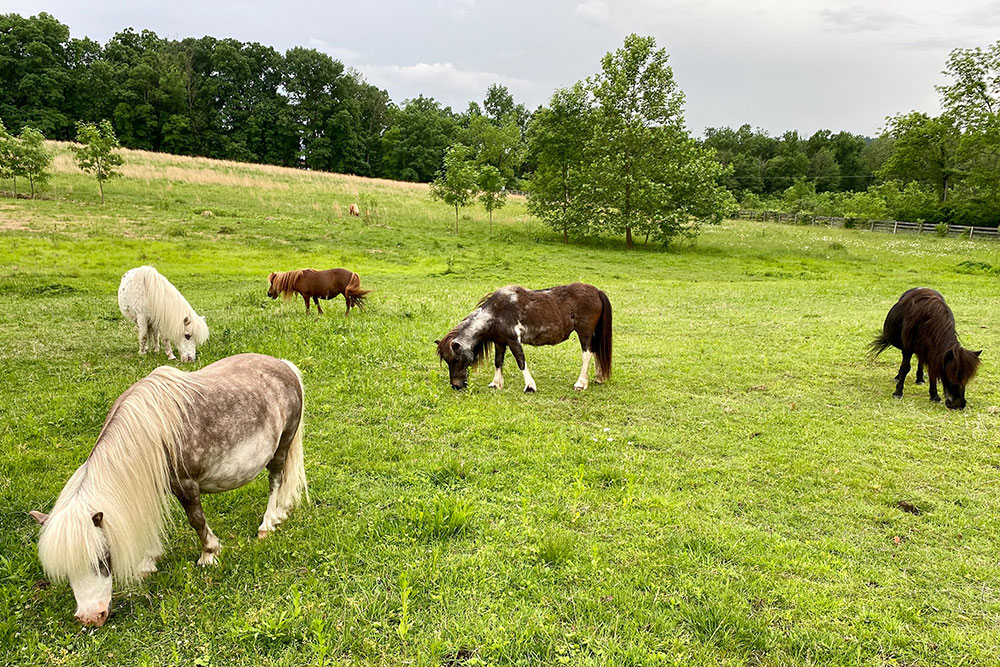 Miniature Horses Grazing In Field at Land of Little Horses Animal Theme Park